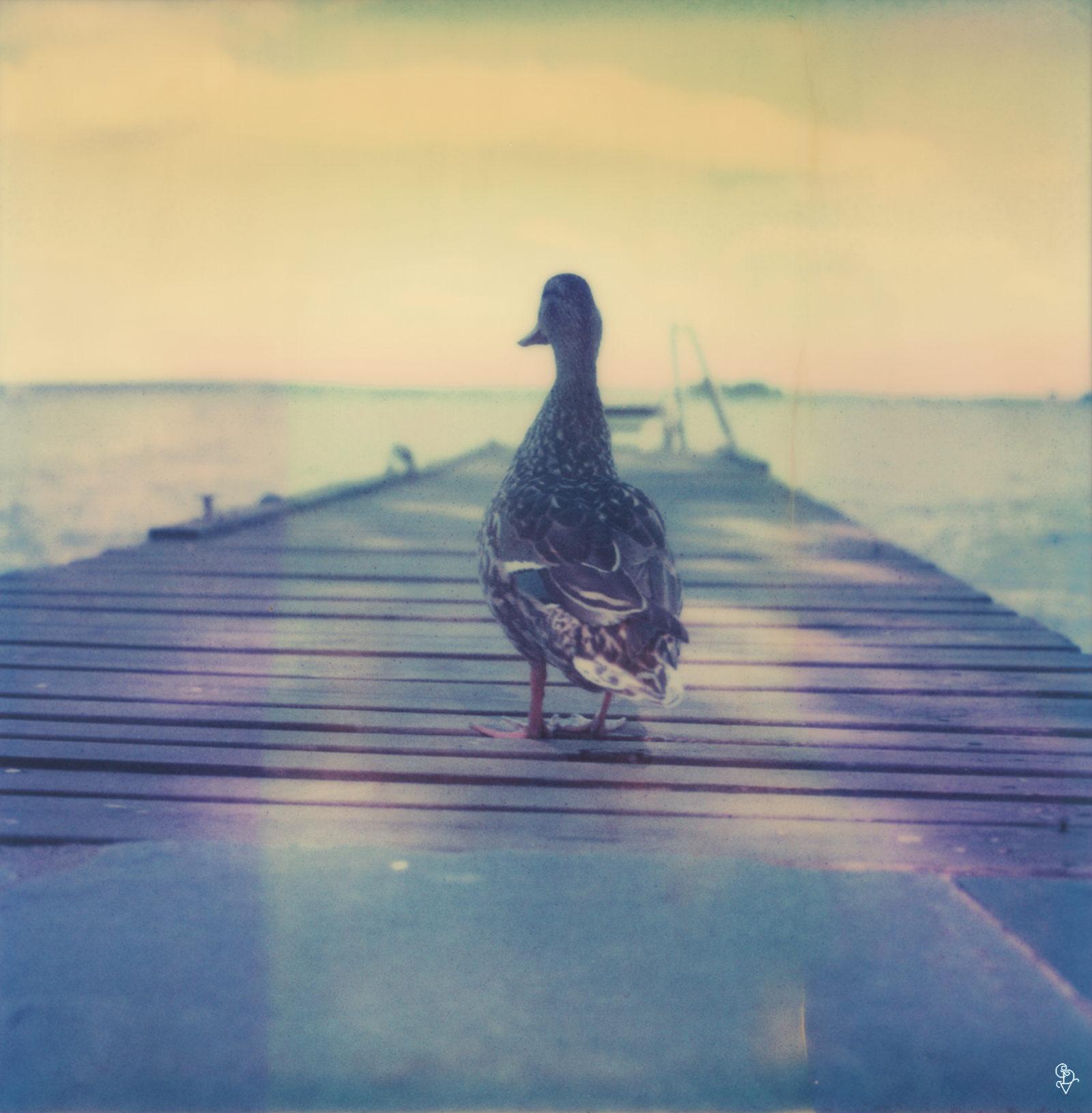 Hammarby Duck